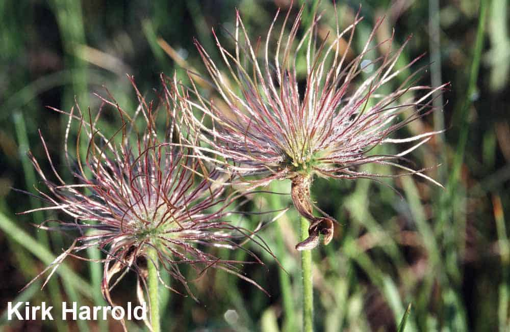 5.-Prairie-crocus-Anempat-seeds-almost-ready-to-shed