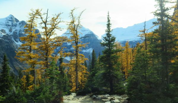 Larch Trees Are An Evergreen, But They Are Not Always Green