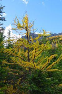 subalpine larch trees