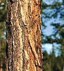 westernlarch_bark