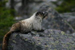 august-2010-boom-lake-marmot