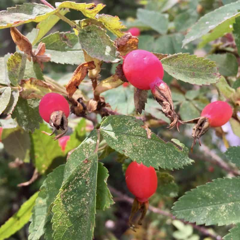 red rosehip on a rosehip bush