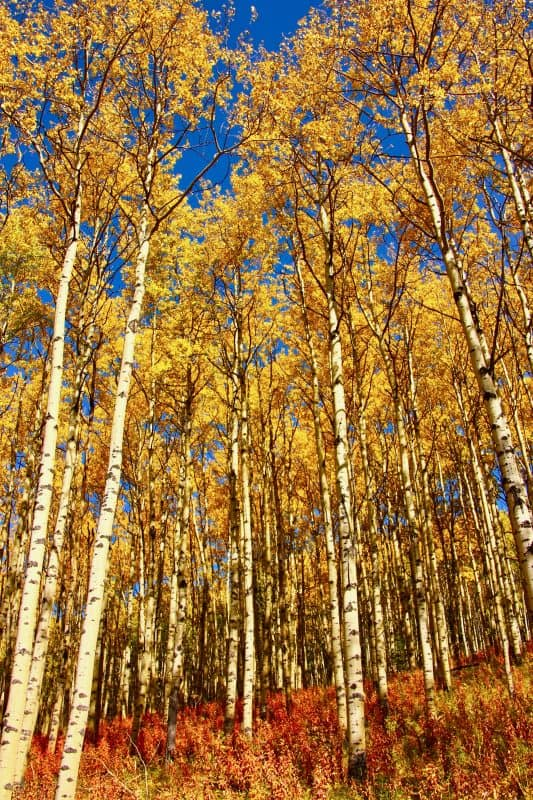 photo of trembling aspen trees in the fall with yellow leaves