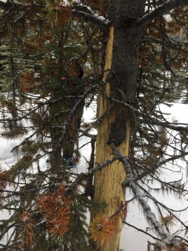 Tree bark stripped by bear from tree along Hogarth lakes Trail