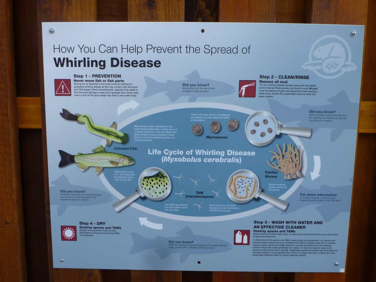 infographic of whirling disease